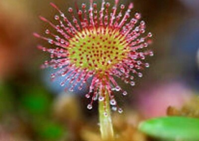 SUNDEW AND COVID-19, WHY NOT?